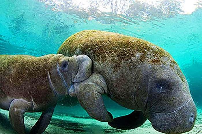 Dugongos : Reproducción