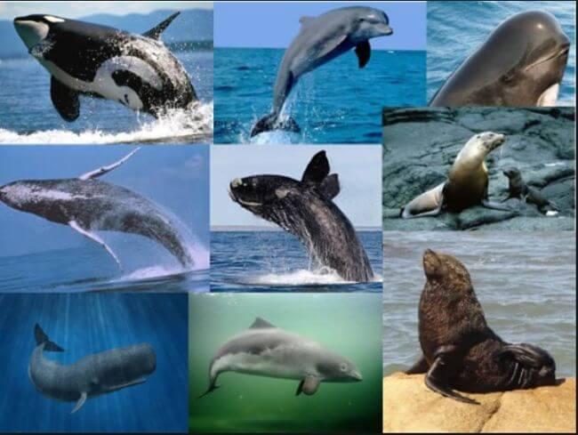 mamimefos marinos