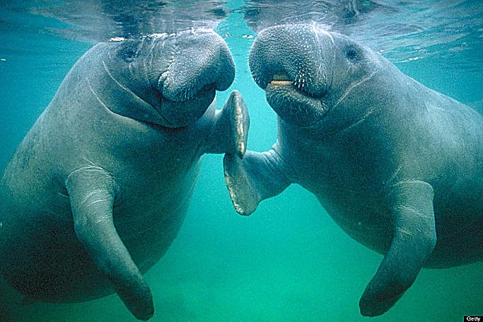 Los Sirenios: Comportamiento