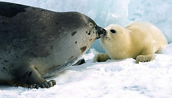 Reproducción de las focas