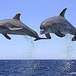 Delfines: Clasificación de estos cetáceos