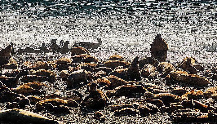 Lobos marinos : Amenazas
