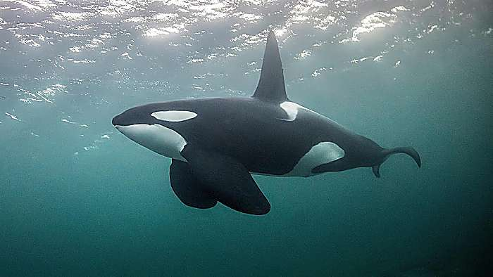 "Las Orcas : Conoce aspectos relevantes de esta ""Ballena asesina"""