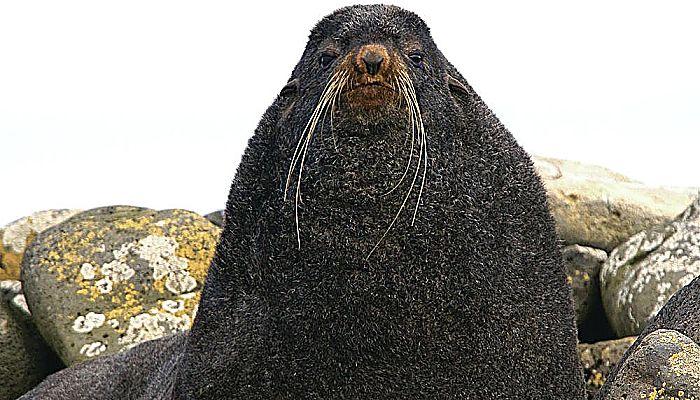 osos marinos