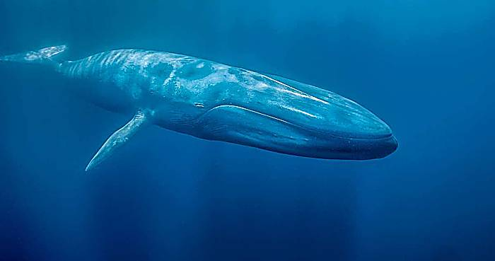 Tipos de ballenas - Ballena azul