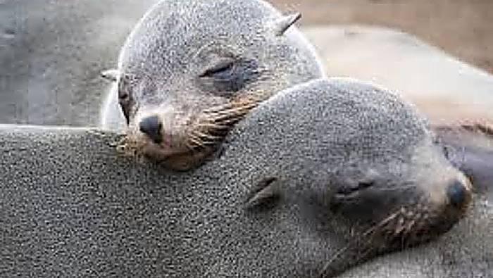 Tipos de lobos marinos : 7 especies conocidas