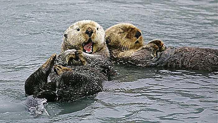 3 Tipos de nutrias marinas