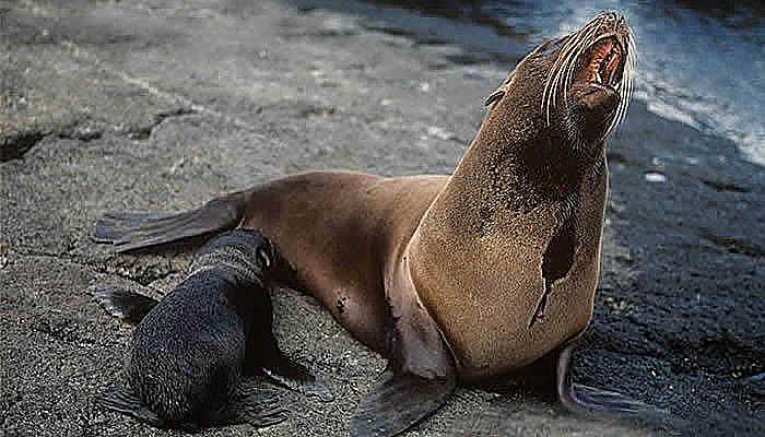 Tipos de osos marinos