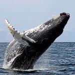 Conoce un poco más de la ballena jorobada