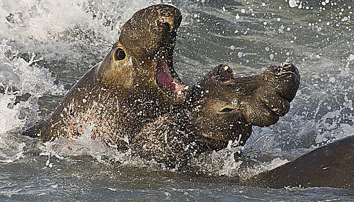 Elefante marino del norte : Características Más Resaltantes, Hábitat, Comportamiento, Entre Otros
