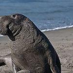 elefante marino del sur