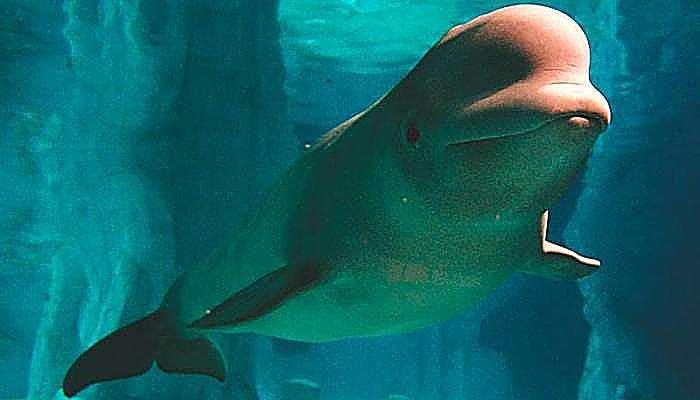 Especies de marsopas