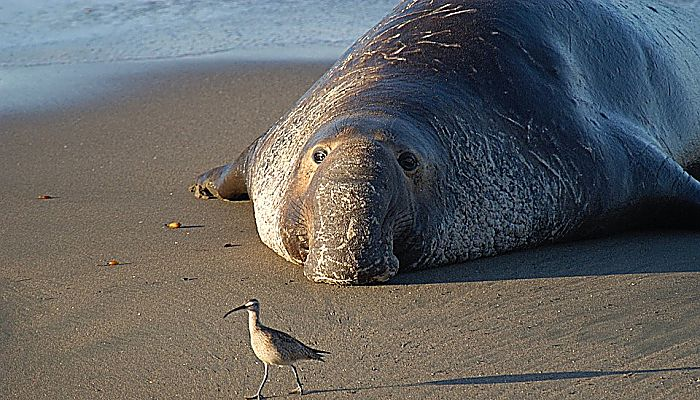 tipos de elefantes marinos