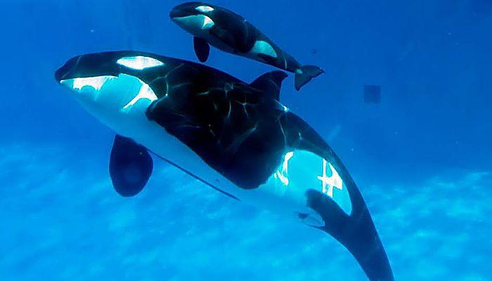 tipos de orcas : Conoce 3 especies