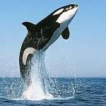 tipos de orcas