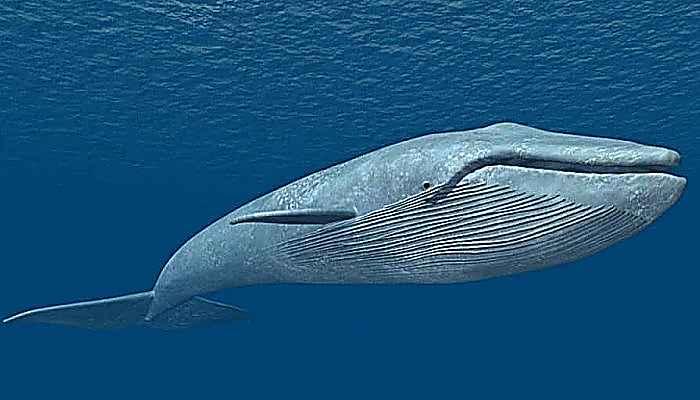 Las Ballenas Barbadas - Características