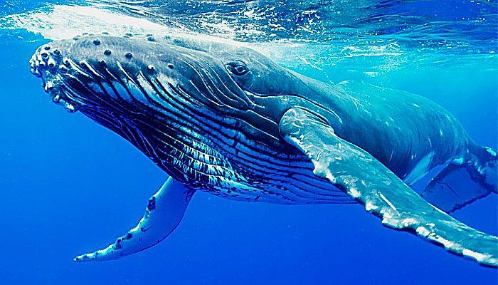Ballenas barbadas