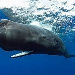 El Cachalote es la ballena que tiene mayor capacidad de inmersión y la que emite los sonidos más fuertes y llamativos del Océano.